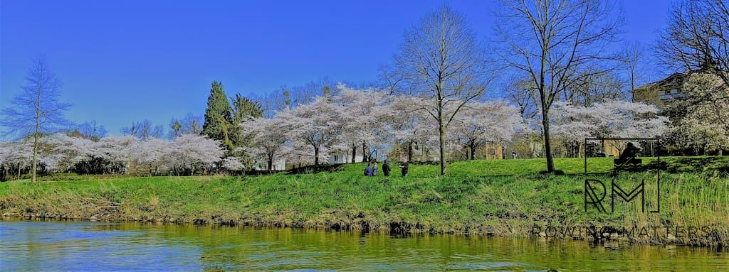 Geschafft: volle Blütenpracht und gutes Licht an der Roseninsel