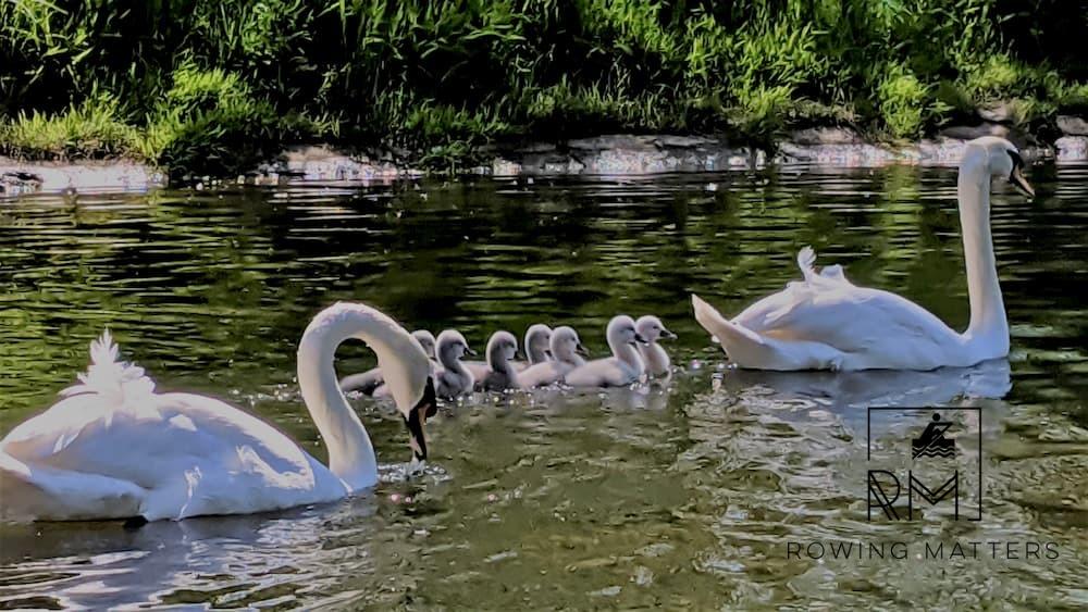 Eine Schwanenfamilie beim Familienausflug an der Roseninsel